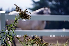 Weeds, Fence, Waterdrops, Horse (SkyeHar) Tags: sel55210 fence horse weeds waterdrops raindrops droplets plant rural corral sunlight contrast dof bokeh weather sonya6300 fencefriday hff