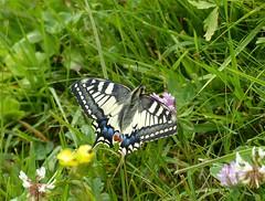 Swallowtail (Marit Buelens) Tags: butterfly flower clover suisse schweiz switzerland muotathal bisisthal urwaldweg schwyz bödmeren obersaum papiliomachaon schwalbenschwanz portequeue grandportequeue macaon koninginnepage swallowtail