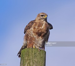 Common Buzzard (Gary Chalker, Thanks for over 3,000,000. views) Tags: commonbuzzard buzzard birdofprey bird pentax pentaxk3ii k3ii pentaxfa600mmf4edif fa600mmf4edif fa600mm 600mm