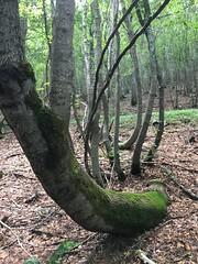 Acero di lobelius