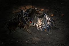 Der Uhu (Bubo bubo) - Anflug (Pana53) Tags: photographedbypana53 pana53 naturfoto uhu bubobubo eulenart flugstudie bewegungsunschärfe gefieder wildpark augen nikon nikond500