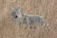 Good to the last bite (ChicagoBob46) Tags: coyote yellowstone yellowstonenationalpark nature wildlife coth5 naturethroughthelens ngc npc