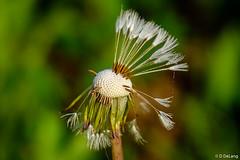 Dandy Lion (Anymouse02) Tags: seeds nature flower closeup macro