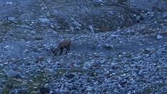 après le souper à la cabane des Dix (bulbocode909) Tags: valais suisse valdesdix cabanedesdix montagnes nature bouquetins