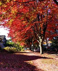 Glowing October reds (peggyhr) Tags: peggyhr october maples autumn reds cambridgestreet img9214a vancouver bc canada sunlight shadows carpetoffallenleaves frameit~level01~ infinitexposurel1 niceasitgets~level1 heartawards level1peaceawards visionaryartsgallerylevel1 thegalaxy thegalaxystars super~sixbronze☆stage1☆ niceasitgets~level2 thegalaxylevel2 thegalaxyhalloffame carolinasfarmfriends 50faves