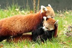 Red Panda with child. (K.Verhulst) Tags: panda redpanda blijdorp blijdorpzoo diergaardeblijdorp rotterdam bear beer beren