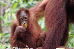 Borneo Orangutan (Possum Inc.) Tags: borneo jungle indonesia orangutan