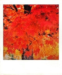 Autumn maple. (jeanne.marie.) Tags: sugarmaple colorful textured tree polaroid mydailywalk iphoneography iphone7plus yellow orange red leaves maple autumn 100xthe2018edition 100x2018 image93100