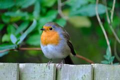 chubby red robbin (carrot_cherries) Tags: fujinon xf100400mm f4556 r lm ois wr xt2 red robin garden chubby bird photography fence autumn england uk london united kingdom