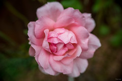 Rose (Phet Live) Tags: phet live macro ricoh gr raynox dcr 250