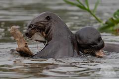 Otter breakfast #Explored (fascinationwildlife) Tags: animal mammal wild wildlife nature na water river otter giant riesenotter endangered species fish feeding morning pantanal brazil brasilien südamerika south america