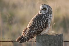Short eared Owl. (shaunmcdonagh) Tags: shortearedowl owls owl northumberland northeastbird northeast wildlife