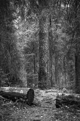 Ikihonka (Markus Heinonen Photography) Tags: mänty pine puu tree metsä kintulammi kintulammin retkeilyalue aarniometsä ikimetsä forest old ikimänty aihki tampere suomi finland europe luonto nature