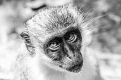 Monkey Portrait, The Gambia (Geraint Rowland Photography) Tags: monkey greenmonkey monkeyblackandwhite monkeyportrait nature wildlife wild wildmonkey intothewild beauty environment gambia thegambia travel travelwestafrica wanderlust instagrammers instagramafrica wwwgeraintrowlandcouk flickrinthegambia whiteandblack face eyes sorry sadness sorrow geraintrowlandphotographyblog