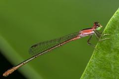 Hot Pink, Pt. 2 - _TNY_4019 (Calle Söderberg) Tags: macro canon canon5dmkii canonef100mmf28usmmacro canoneos5dmarkii 5d2 insect vietnam phuquoc mercuryphuquocresortvillas odonata pinheadwisp agriocnemis femina damsel damselfly flickslända zygoptera red greeneyes wips variablewisp coenagrionidae flash meike mk300 glassdiffusor raynox dcr250 f19