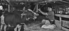 "INDONESIEN, Sulawesi, Büffel- und Schweinemarkt bei Bolu, INDONESIA, Sulawesi, buffalo and pig market near Bolu/Rantepao, 17695/10713 (roba66) Tags: sulawesi urlaub reisen travel explore voyages rundreise visit tourism roba66 asien asia indonesien indonesia insel celebes island île insulaire isla bolu rantepao markt market büffelmarkt buffalomarket schweiemarkt siiere animals tiere kuh stier bull tauro taurus tier vieh monochrome blackwhite bw blancoynegro swbw negro blackandwhite blancoenero byn bretoebranco einfarbig ""schwarzweis"""