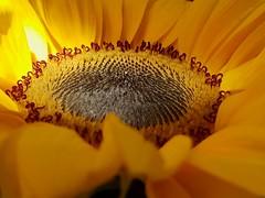 Sunflower (andrewcaswell) Tags: sunflower flowers flower yellow petals petal closeup macro samsung galaxy s9 nofilters