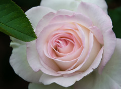 A Rose Pose. (Omygodtom) Tags: macro flower flickr rose portrait kitlens 18105lens natural nature nikon spider abstract art usgs flora outside dof bokeh
