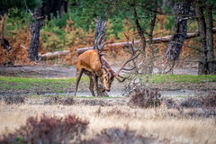 Taking a bath (peter.f.van.der.werf) Tags: d500 200500mm veluwe nikon deer