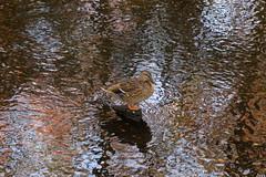 IMG_6957 - Autumn Mallard (Bob90901) Tags: autumn mallard massapequapreserve longisland newyork morning duck stream rpg90901 waterfowl birds water sooc canon 6d canonef24105mmf4lisusm 2015 october 1001 outdoor