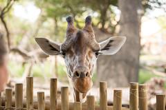 Tatu (shutterbugdancer) Tags: beltre buddy corrie dilly fortworthzoo giraffeidentification kala reticulatedgiraffe walter bourbon brandy captain tatu