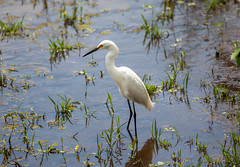 Snowy Egret (Egretta thula) (Sergey Pisarevskiy) Tags: snowyegret egrettathula bolivia southamerica birds birdwatching wildnature wildlife