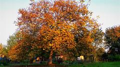 Őszi alkony a kiskertekben (Szombathely) (milankalman) Tags: garden autumn fall tree golden leaves