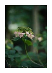 2018/9/14 - 11/15 photo by shin ikegami. - SONY ILCE‑7M2 / Lomography New Jupiter 3+ 1.5/50 L39/M (shin ikegami) Tags: 紫陽花 flower 花 macro マクロ 井の頭公園 吉祥寺 summer 夏 sony ilce7m2 sonyilce7m2 a7ii 50mm lomography lomoartlens newjupiter3 tokyo sonycamera photo photographer 単焦点 iso800 ndfilter light shadow 自然 nature 玉ボケ bokeh depthoffield naturephotography art photography japan earth asia