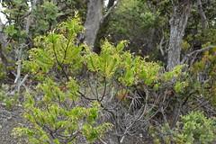 Dubautia ciliolata (?) (Geographer Dave) Tags: dubautiaciliolata kupaoa keanakakoi craterrimdriver october2018 hawaiivolcanoesnationalpark hawaii endemic plant