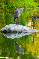 Great Blue Heron (TheEvilDonut Photography) Tags: blue heron greatblueheron pond water still reflection rock fishing bird birding green