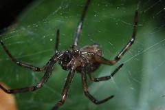Linyphiid - Lepthyphantes sp. Arachtober 15. (Procrustes2007) Tags: spider arachnid arachtober linyphiidae lepthyphantessp nikond50 sudbury suffolk uk