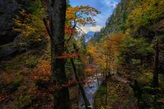 - autumn colours - (verbildert) Tags: autumn colors trees leaves canyon alps austria stream