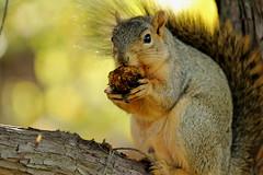 Squirrel, Morton Arboretum. 435 (EOS) (Mega-Magpie) Tags: canon eos 60d nature wildlife outdoors squirrel tree branch nut hungry the morton arboretum lisle dupage il illinois usa america