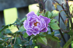 DSC_2005 (PeaTJay) Tags: nikond750 sigma reading lowerearley berkshire macro micro closeups gardens outdoors nature flora fauna plants flowers rose roses rosebuds