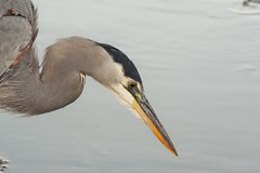 Heron fishing on the lake in Stanley park Vancouver (pjohns75) Tags: coth5 ngc npc
