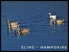 #Eling - #Hampshire #Swans (Mrfto73) Tags: eling hampshire swans