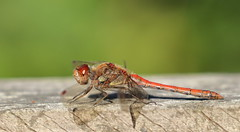Common Darter (male) (ctrolleneos) Tags: canon80d 100400 dragonfly insect commondarter swanlake yateley hampshire