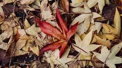Herbstlaub - leaf in autumn (MLe Dortmund 100K+) Tags: laub leaf autumn leaves herbst nass rot