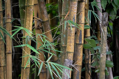 Screaming for Panda (dptro) Tags: bamboo plant forest tropicalrainforest grass material flexible asia