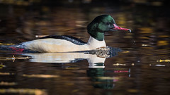 Goosander (JS_71) Tags: nature wildlife nikon photography outdoor 500mm bird new autumn see natur pose moment outside animal flickr colour poland sunshine water