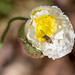 White poppy with pod #3 (Tracey-Lee 2014) Tags: