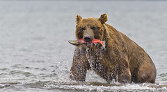 Bear's snack (paolo_barbarini) Tags: kamchatka bear bears kurillake salmon fishing wildlife animal