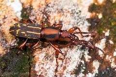 Primitive Weevils (jgruber111) Tags: brentidae coleoptera weevil beetle insect macro entomology primitiveweevil laselvabiologicalstation