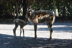 Vicuña (Den Batter) Tags: nikon d7200 zooparc overloon vicuña vicugnavicugna