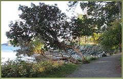 Outside Trail at the Park (robinb44) Tags: arbutus trees trails neckpointpark nanaimo salishsea britishcolumbia