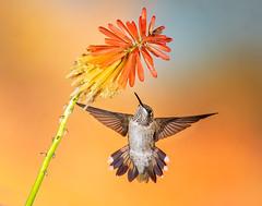 Broad-tailed Hummingbird (Eric Gofreed) Tags: arizona blackchinnedhummingbird hummingbird multiflashphotography mybackyard sedona