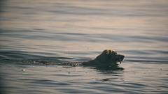 Water Dog Bokeh - Fehmarn - Schleswig-Holstein - Germany (torstenbehrens) Tags: water dog bokeh fehmarn schleswigholstein germany olympus penf m42f8500mm zhongyi objektiv turbo ii efm43 wecellent m42ef adapter