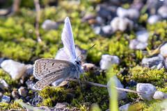 Icarusblauwtje-Common Blue (Polyommatus icarus) (Bram Reinders(on-off)) Tags: commonblue hauhechelbläuling largusicare licare argusbleu gewoonblauwtje kattedoornblauwtje stalkruidblauwtje icarusblauwtje polyommatusicarus vlinder butterfly insect insekt macro micro natuur nature wildlife curiosityisthesourceofallknowledge nieuwsgierigheidisdebronvanallekennis groningen holland nederland thenetherlands nikond500 nikonafs200500mmf56evred nikon200500 nikkor200500 200500 nikkor nikon ©bramreindersdelfzijl bramreinders bram reinders delfzijl wwwbramreindersnl