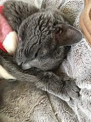 Content Argent (sjrankin) Tags: 10october2018 edited animal cat kitahiroshima hokkaido japan livingroom argent closeup blanket couch tunic