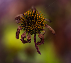 Sick With A Colorful Twist (DocktorGonzoPhotography) Tags: flora floral flower flowers flowerphoto flowerphotography focus f18 focused floraphoto floralarrangement floramacro flowermacro flowersphoto fstop fstopper fstoppers nature natural n naturecloseup natureupclose niftyfifty naturemacro naturephoto natureshot naturephotography trippy colorful trippyshot 50mmlens illusion opticalillusion dying dyingnature dyinglife life dead death lifeanddeath vibrant autumn fall season seasons seasonal seasonchanging canon canonlens canonef canonef50mm canon50mmlens canonef50mmf18 canonf18 canon50mmf18 aperture wideaperture